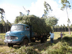 Loading Eucalyptus branches on to trucks