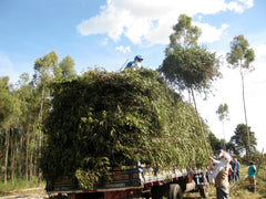 Loading Eucalyptus citriodora branches