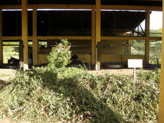 Eucalyptus branches are dumped at the distillery.