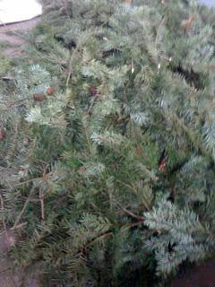 Douglas fir for distillation