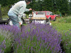 Lining up the Lavender harvester for cutting