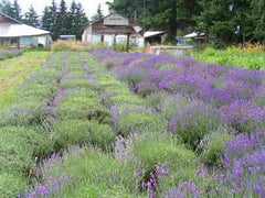A partially cut field of population Lavender