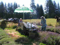 Lavender harvester cutting a row, quick and easy