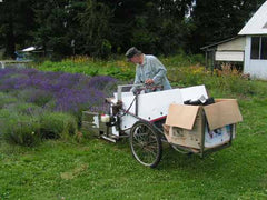 Lining up the lavender harvester