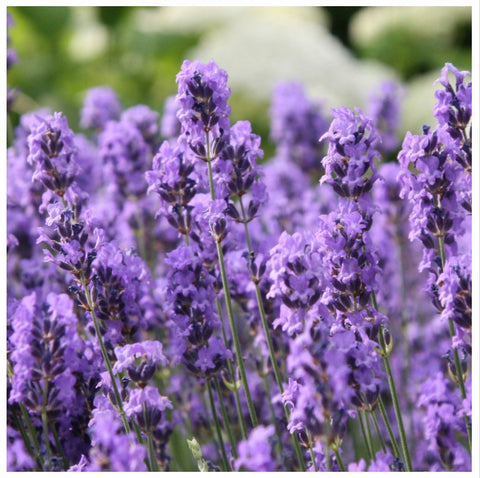 French Lavender Oil 40 42 The Essential Oil Company