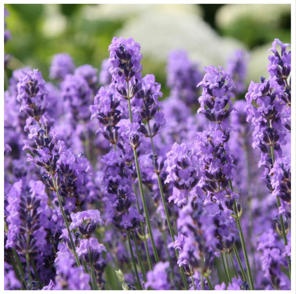 Certified Organic Lavender Oil