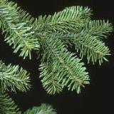 Fir Needle Oil Canadian - Balsam Fir Oil