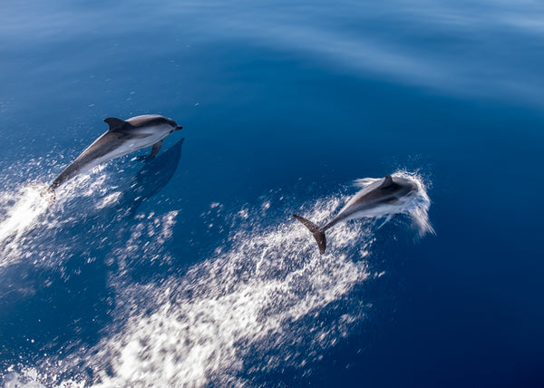 MNI 0001 Dolphins