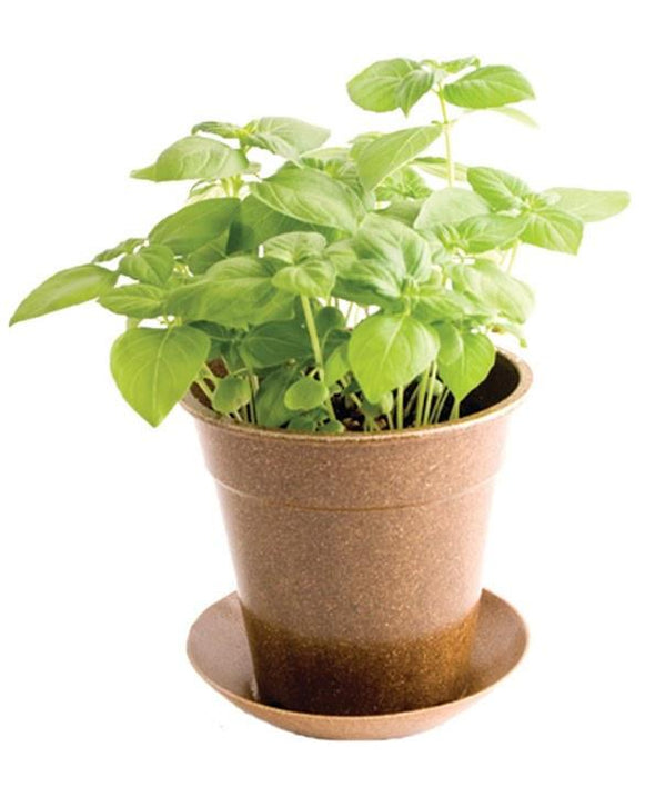 Organic Basil in Biodegradable Pot by Pottingshed Creations - ModernTribe - 2