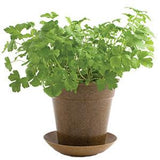 Organic Parsley in Biodegradable Pot by Pottingshed Creations - ModernTribe - 2
