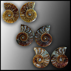 Ammonite Pairs, Large
