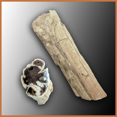 PET241 Petrified Wood Limb Cast
