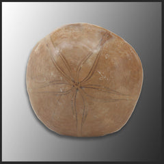 Fossil Sand Dollar, Large