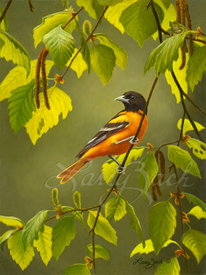 Baltimore Oriole song bird  on River Birch Tree painting by Larry Zach