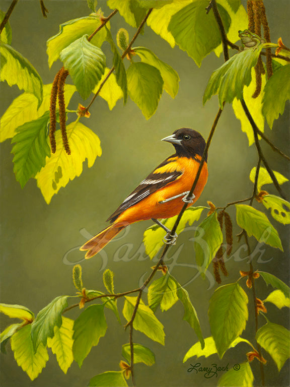 Baltimore Oriole on River Birch