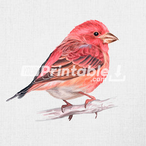 Purple Finch Hand Drawn Illustration - Digital Download