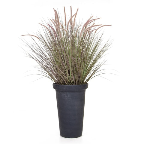 Purple Dogtail grass