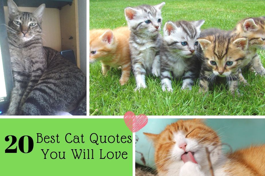 20 Best Cat Quotes You Will Love (Always)