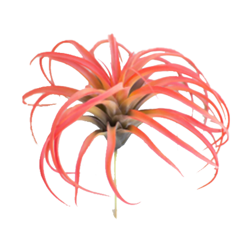 Faux Red Air Plant