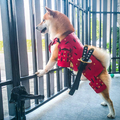 Samurai Dog Armor - It's Okay To Be Weird