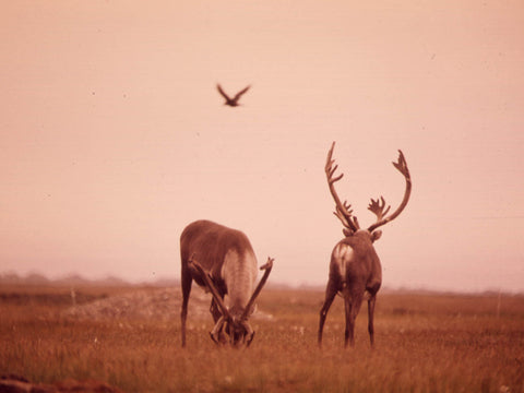 CARIBOU FEED ON LICHENS AND MOSS. THE BIRD IS AN ALASKAN RAVEN  - 550384