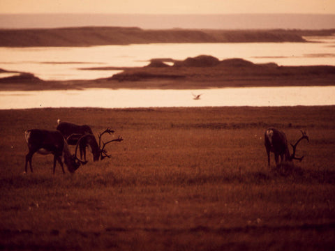 CARIBOU GRAZE NEAR THE SAGAVANIRKTOK RIVER  EIGHT MILES EAST OF THE NORTH SLOPE SITE WHERE THE ALASKA PIPELINE WILL...  - 550379