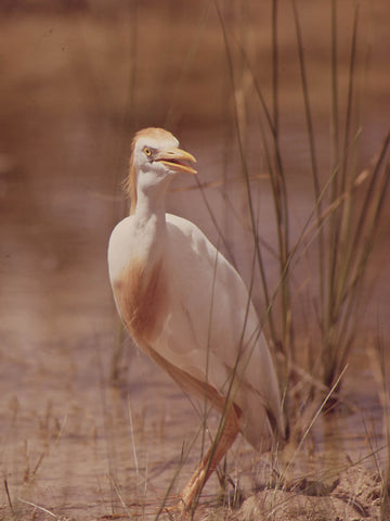 CATTLE EGRET WITH BREEDING PLUMAGE  - 544516