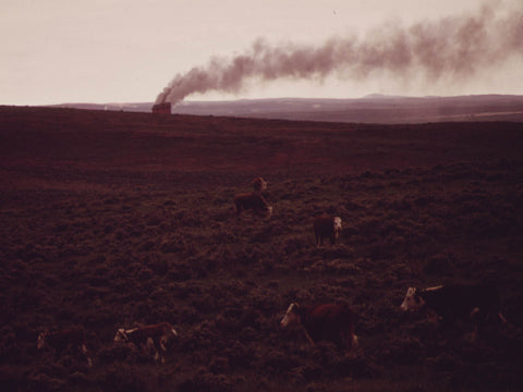 CATTLE GRAZE ON RANCH LANDS NEAR THE DAVE JOHNSTON POWER PLANT  - 549214