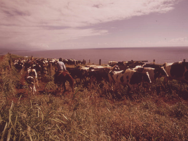 MOVING CATTLE IN THE RICH GRAZING LANDS OF THE AGRICULTURAL DISTRICT