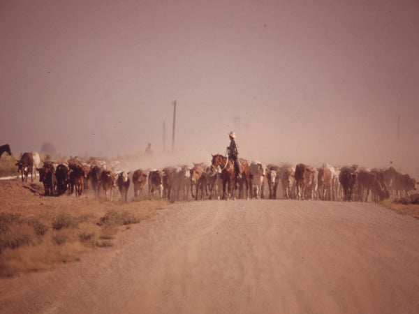 MOVING CATTLE RAISE DUST ALONG THE HIGHWAY-NEAR CALIPATRIA IN THE IMPERIAL VALLEY