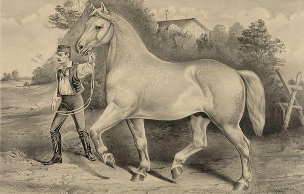 Percheron stallion Duc de Chartres imported by A. Rogy: winner of first prize grand gold medal at the Concours Hippique Regional; held at Alencon France in 1873