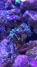 Load image into Gallery viewer, Feliz-Reef Coral Food 2oz Hobby Size