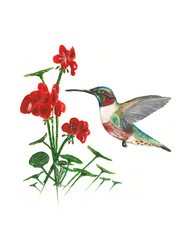 Ruby Throated Hummingbird I