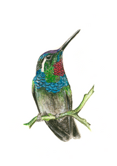 Ruby Throated Hummingbird II