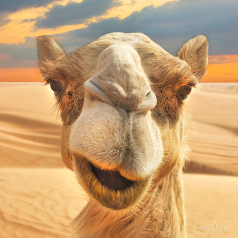 hump day camel images, funny camel pictures, camel pic, camel desert, desert pictures, wildlife photography, candid pics, candid photography, funny animal photos, animal portraits, desert photography