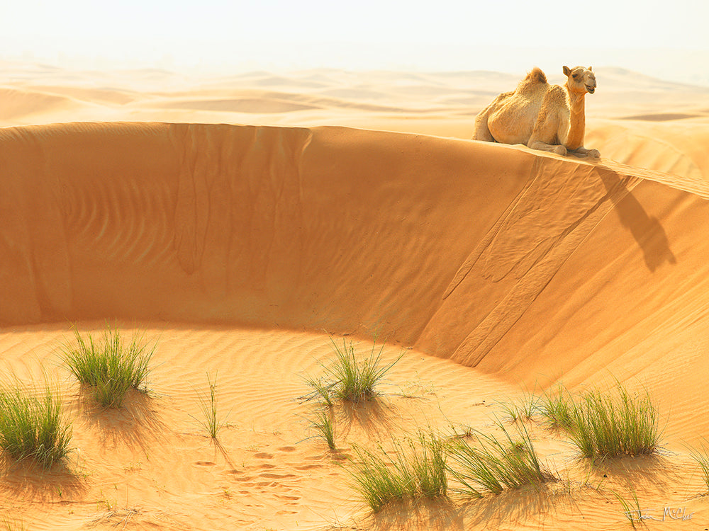camel photo, camel pictures, camel pics, wildlife photography, desert pictures, dubai wall art, camel images