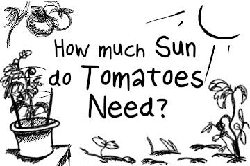 How Much Sun Do Tomatoes Need? A Detailed Guide