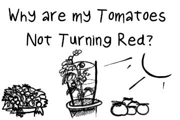 Why Are My Tomatoes Not Turning Red? And An Easy Solution