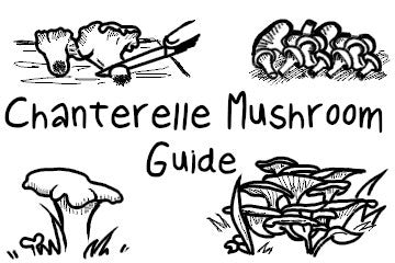 Chanterelle Mushrooms: Everything And More