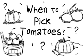 When To Pick Tomatoes | The Simple Guide