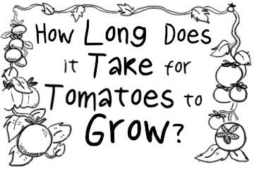 How Long Does It Take For Tomatoes To Grow? The Quick Guide