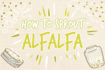 How To Sprout Alfalfa: The Complete Guide
