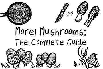 Morel Mushrooms: Your Complete Guide
