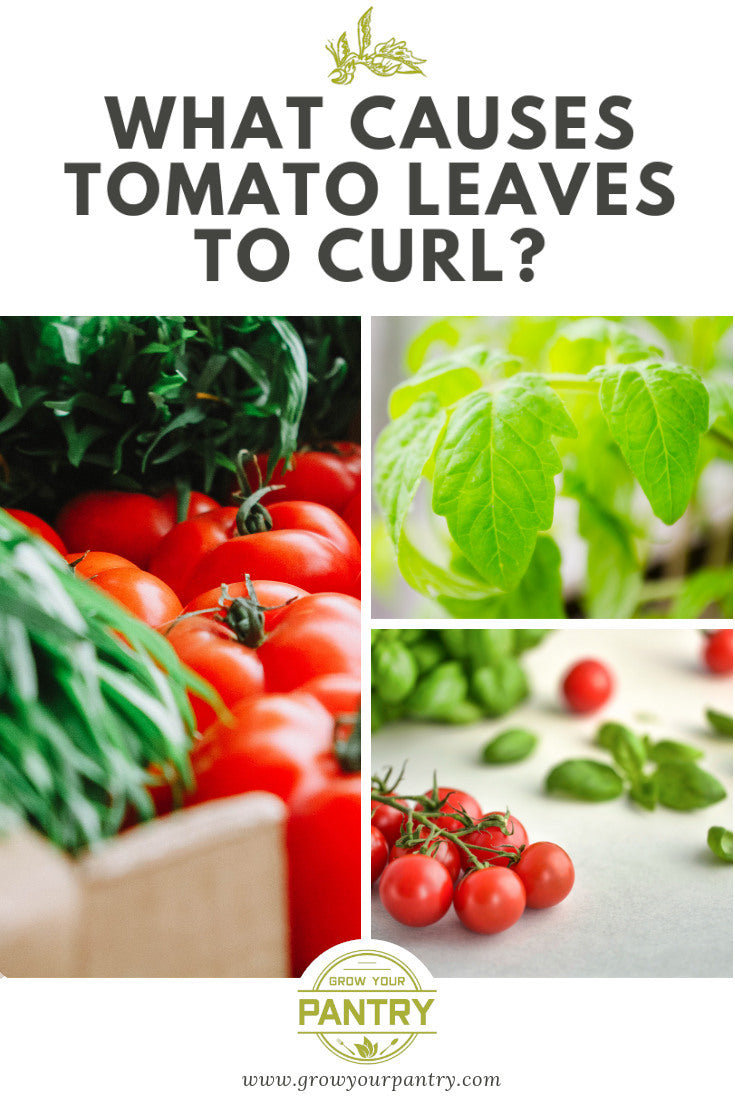 what_causes_tomatoes_to_curl_infographic