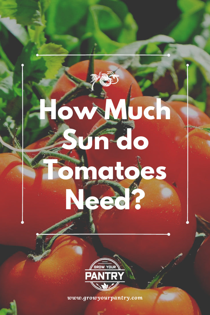how_much_sun_do_tomatoes_need_infographic