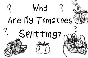 why_are_my_tomatoes_splitting