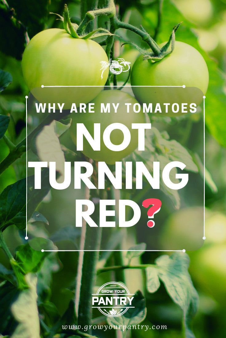 tomatoes_not_turning_red_infographic