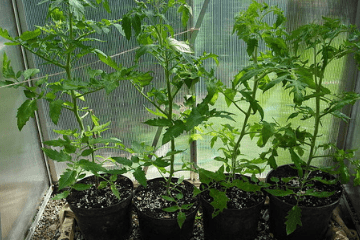 tomatoes_growing_in_pots