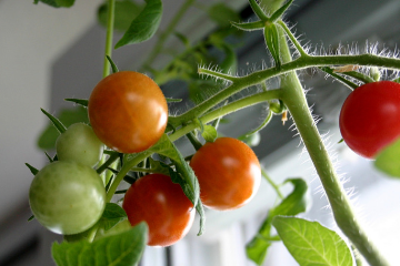 tomatoes_on_a_vine