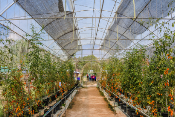 tomatoes_growing_in_a_greenhouse